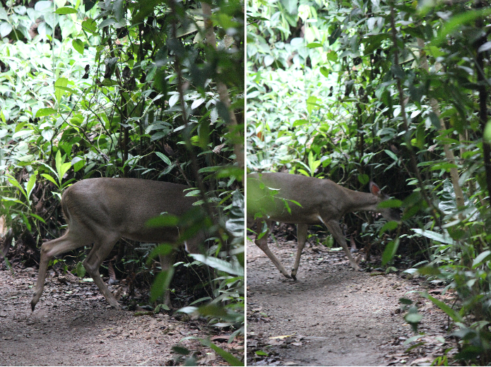 A deer, in Costa Rica? Yes, it appears so.