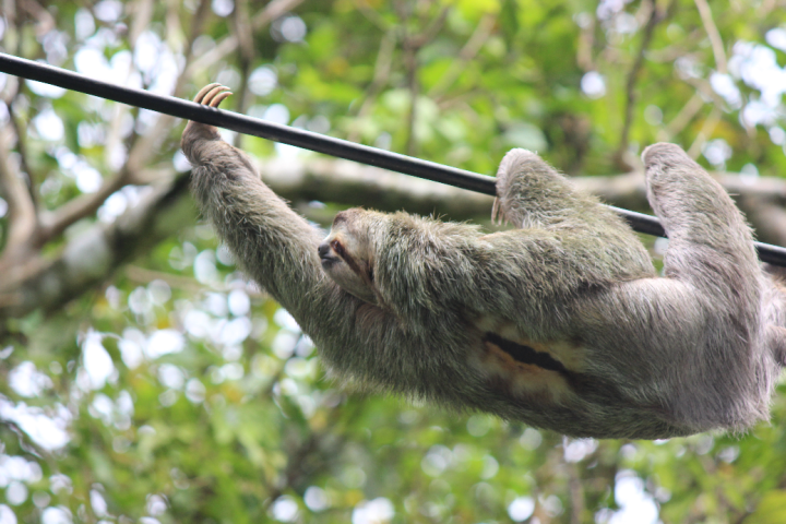 Sloth powerline Manuel Antonio