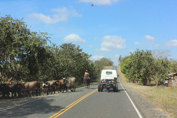 Cowboy and cattle on road