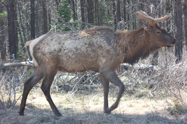 12. Elk