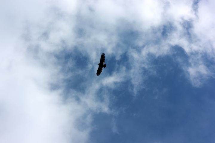 19.Juvenile Bald Eagle