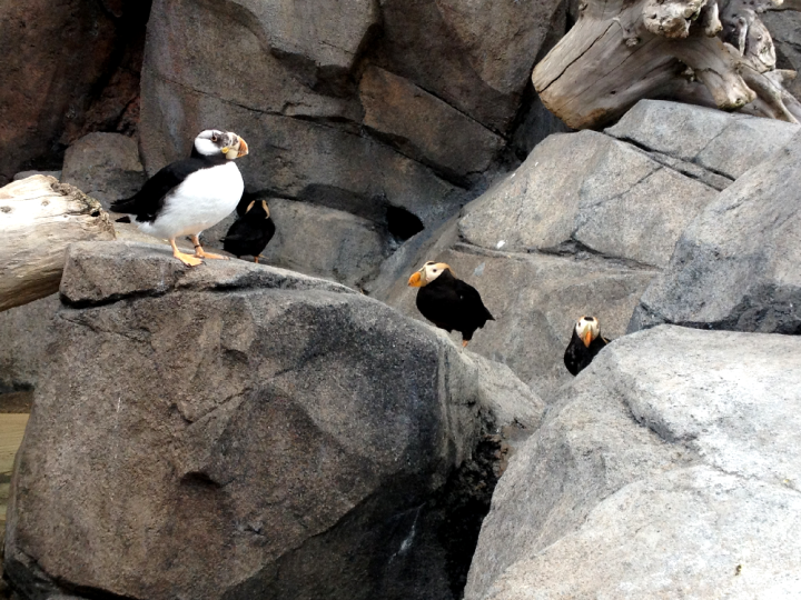 7.Sealife Center Puffins